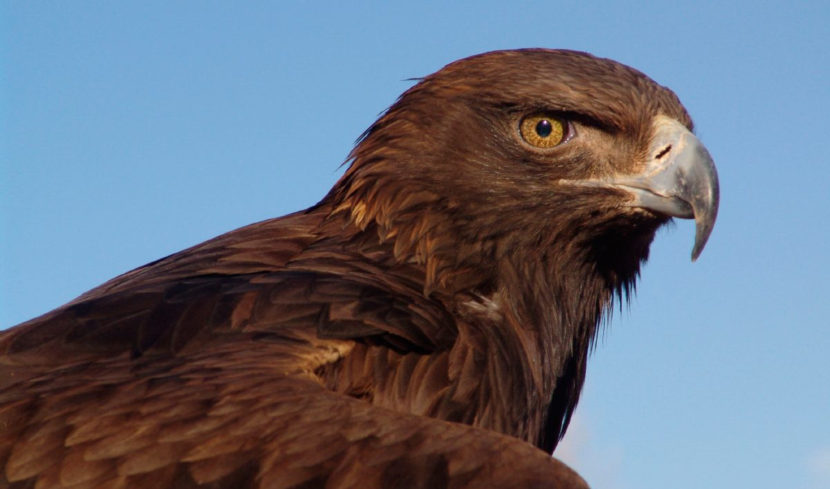 Aguila Real (Aquila chrysaetos)